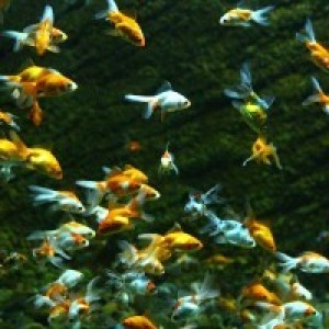 Zlaté rybky v pôrodnici