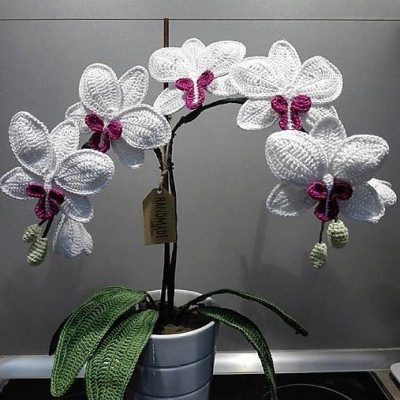 Orchidea háčkovaná, netreba polievať!
